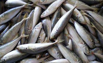 Asyiknya Serok Ikan Saat Musim Ikan Layang Datang