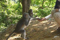 Monyet  Cagar Alam Pangandaran Mulai Malas