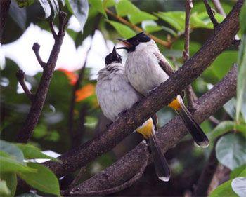 Keberadaan Burung semakin langka di Pangandaran