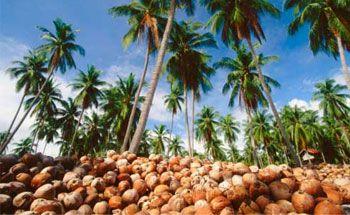 Lestarikan Pohon Kelapa, Unilever Libatkan 5 Ribu Petani Pangandaran
