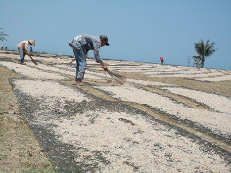 Nelayan Bagang Manfaatkan Tanah Lapang Untuk Menjemur Rebon