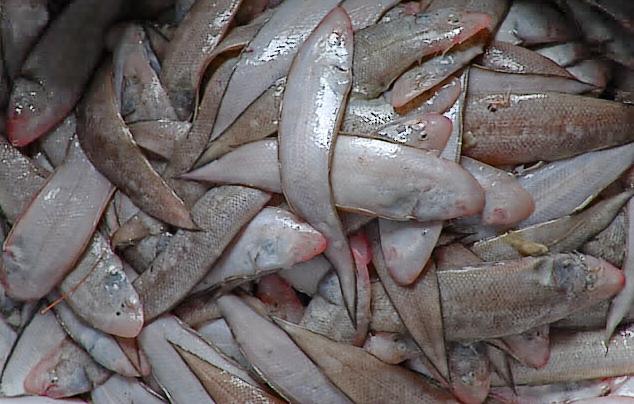 Nelayan Pangandaran Panen Ikan Sebelah