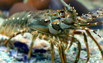 Nelayan Pangandaran Panen Lobster