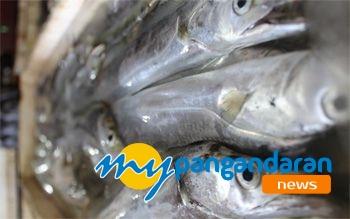 Petani Peceklik Akibat Sawah Kering, Nelayan Pangandaran Panen Ikan
