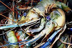 Penangkap Udang Keluhkan Sampah, Sebagian Nelayan Cuti Melaut