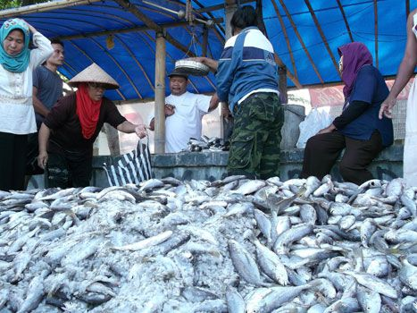 Satu Ton Ikan Tertangkap Nelayan Jaring Arad Pangandaran