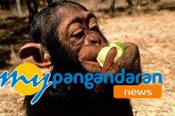 Sedang Diteliti Khasiat Makanan Monyet untuk Obat