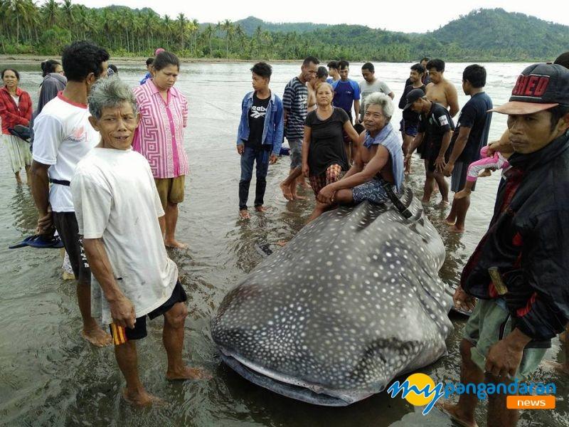 Seekor Hiu Tutul Kembali terdampar di Pantai Pangandaran