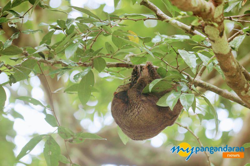 Tando,  Satwa Langka Penghuni Taman Wisata Cagar Alam Pangandaran