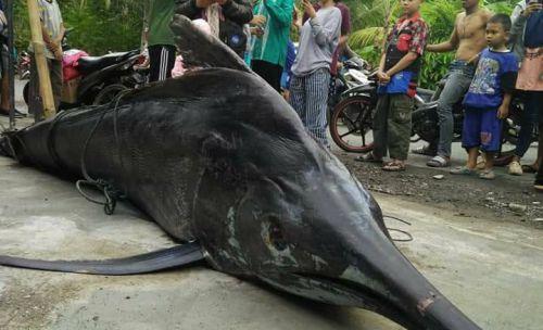 """Viral, Ikan """"Ikon Pangandaran"""" Blue Marlin Tertangkap Nelayan Bojongsalawe"""