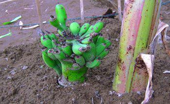Warga Pangandaran Dihebohkan Pohon Pisang Ajaib