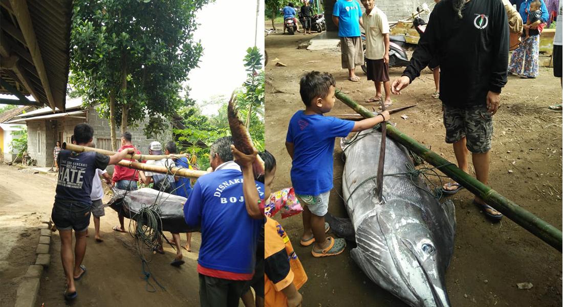 Ikan Blue Marlin Pangandaran